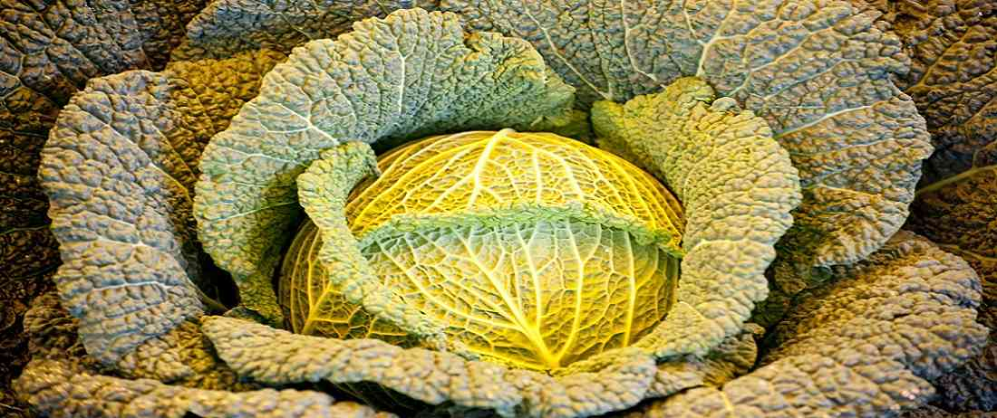 Wondering how many carbs in cabbage? Find out now.