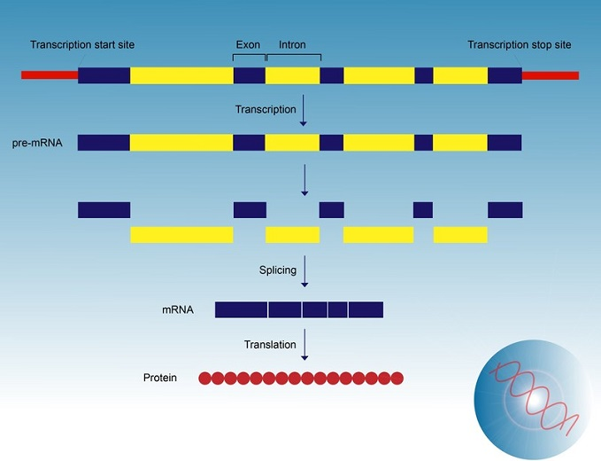 Diagram that answers the question where does transcription occur