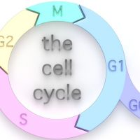 What is the longest phase of the cell cycle?