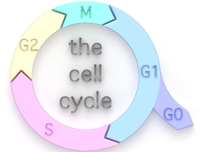 Answering the question, what is the longest phase of the cell cycle?