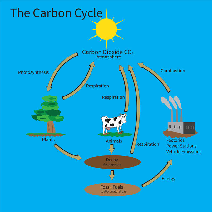 A diagram of the carbon cycle to answer the question, why is the carbon cycle important?