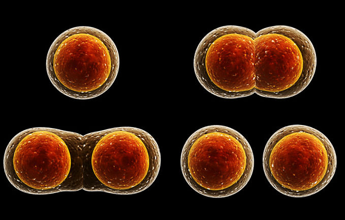 What is meiosis? A look at the definition and stages of meiosis.