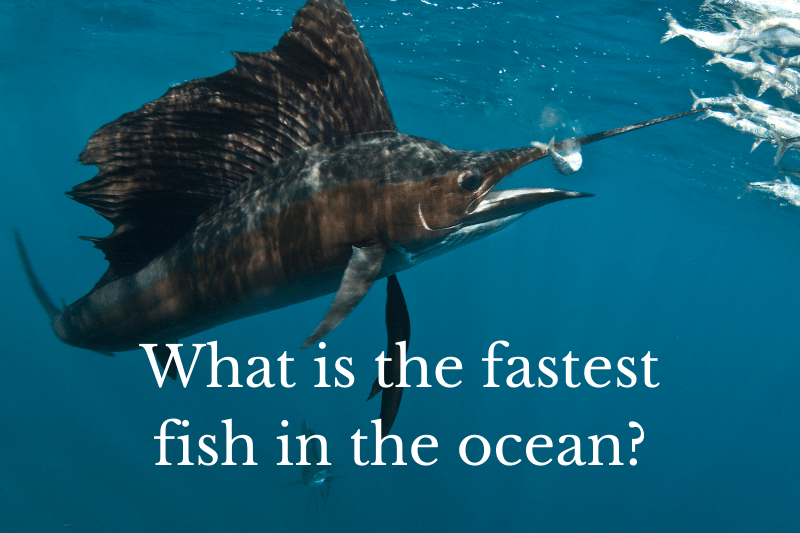 Answering the question: What is the fastest fish in the ocean?